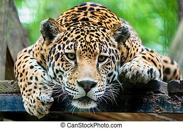 jaguár, american south