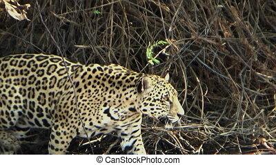 jaguar, énorme, femme