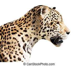 Jaguar - Beautiful jaguar isolated on white background