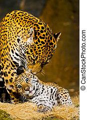 Jaguar Cubs - Adult Female Jaguar licking her young cub