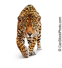 Spotted wild cat - Panther, looking and walking to the camera. White background, shadow