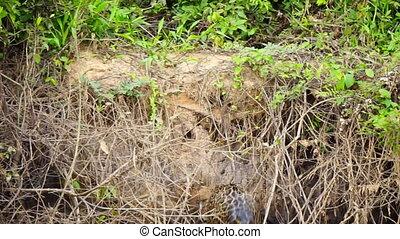 Jaguar getting out of river at riverbank in Pantanal...