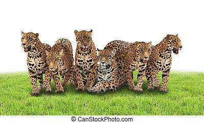 jaguar, groupe
