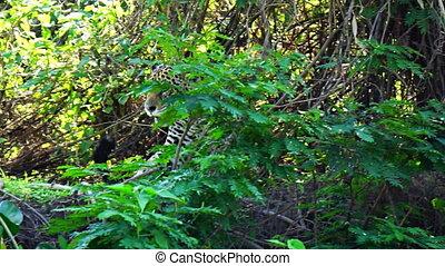 jaguar, na, het rusten, en, krijgen, in, bos, in, pantanal,...