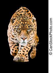 jaguar, negro, aislado, gato