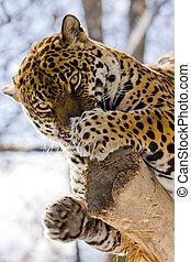 Jaguar (Panthera onca) - Spotted jaguar female