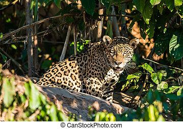 jaguar, peruano, de, madre, selva de amazon, perú, dios