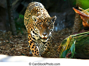 An image of a Jaguar on the prowling around in a zoo in Tenerife.