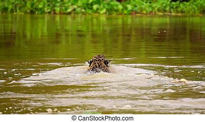 jaguar, schwimmender, in, pantanal, sumpfgebiete, fluß