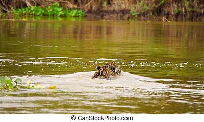 Jaguar swimming and looking at camera in Pantanal wetlands
