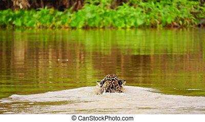 Jaguar swimming in Pantanal wetlands river (Rear view) -...
