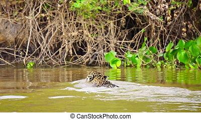 Jaguar swimming near riverbank in Pantanal wetlands - Rear...