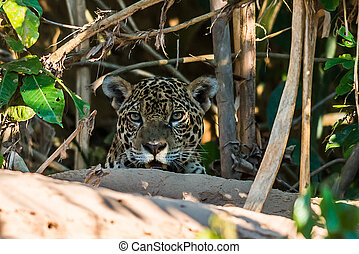 jaguar, w, przedimek określony przed rzeczownikami, peruwiański, amazon dżungla, na, madre, od, dios, peru