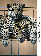 Wildcats in a german zoo