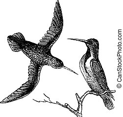 Jamaican Mango or Anthracothorax mango, vintage engraving. Old engraved illustration of the Jamaican Mango showing male bird (right) and female bird (left).