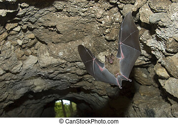 Jamaican (or Mexican) Fruit Bat, (Artibeus jamaicensis) flying in a tunnel under a Maya ruin in Tikal National Park, Guatemala by Hal Brindley