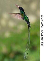 Jamaica's National Bird - Doctor Bird Hummingbird