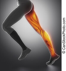jambe, latéral, anatomie, femme, muscle, vue