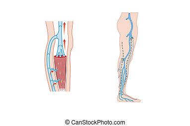 jambe, veines