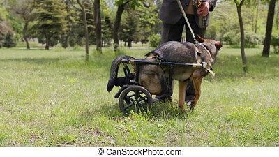 jambes, biche, paralysé, wheelchair., chien