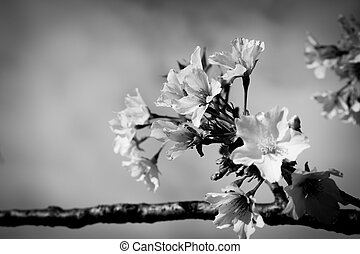 japan cherry flowers in grayscale