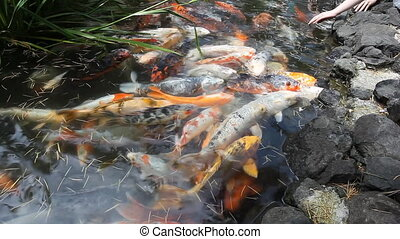 Japan fish call Carp or Koi fish colorful, Many fishes many...