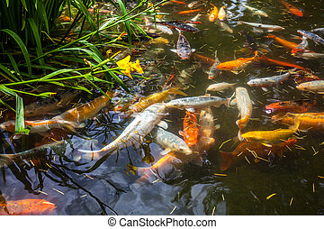 Japan fish call Carp or Koi fish colorful, Many fishes many color swimming in the pond, Batumi, Georgia