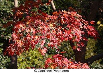 Japan momiji autumn leaves - Japan autumn leaves - red maple...