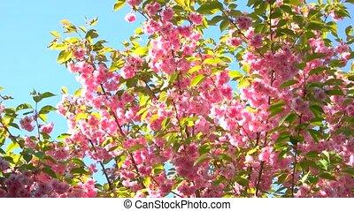 Japan sakura blossom close up. Oriental cherry blossom over...