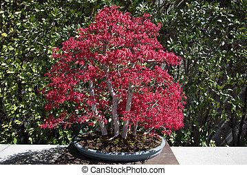 Japanese acer bonsai.