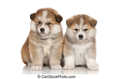 Japanese Akita-inu puppies