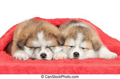 Japanese Akita-inu puppies sleeping