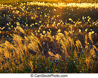 sunset with silver grass silhouette