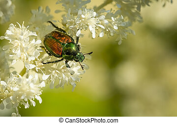Japanese beetle on some white flowers