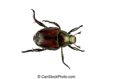 An adult Japanese Beetle, Popillia japonica, that invaded the United States in 1916. Isolated, 12MP camera.