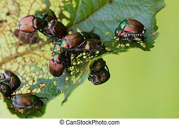 Japanese Beetles Popillia japonica on fruit tree leaf.