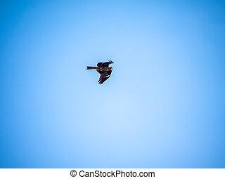 Japanese black kite in flight 2
