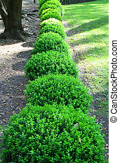 Close up of a row japanese boxwood schrubs.