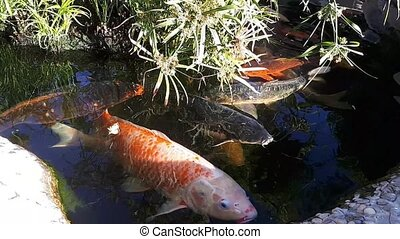 Japanese carp in the pond, larger fish in the pond, ornamental pond. Decorative bright fish floats in a pond