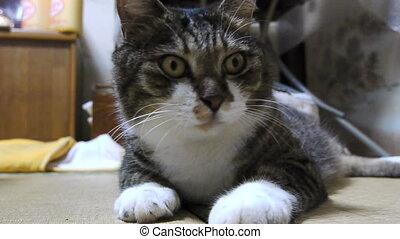 cat - japanese cat