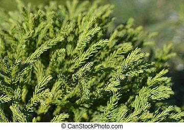 Japanese cedar Globosa Nana - Latin name - Cryptomeria japonica Globosa Nana