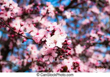Japanese cherry blossom in spring