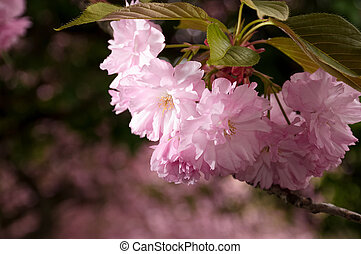 Japanese cherry flower blossom in spring - beautiful spring...