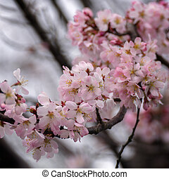 Japanese Cherry tree flowering profusely in East Grinstead