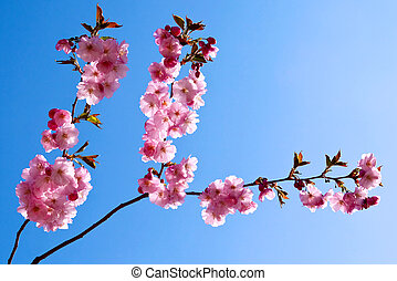 Japanese cherry tree with pink flowers.