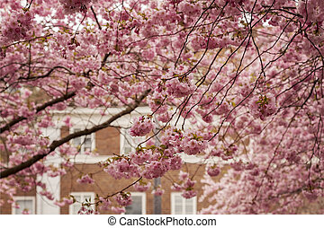 Japanese cherry trees in a town