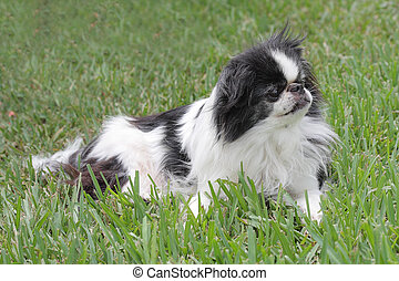 Japanese Chin 1 - Black and white Japanese Chin relaxing in...