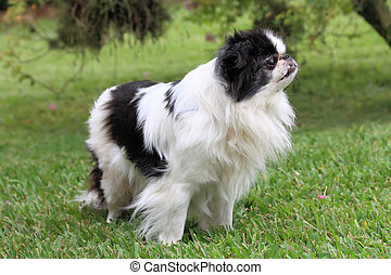 Japanese Chin 3 - Black and white Japanese Chin relaxing in...