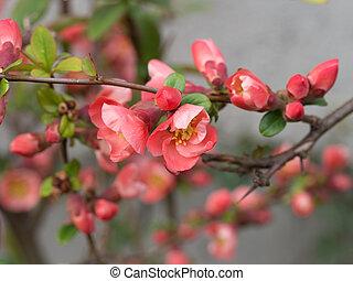 Japanese crabapple flowering in spring