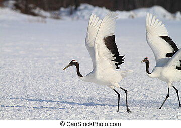 Japanese crane or Red-crowned Crane (Grus japonensis) in Hokkaido, Japan